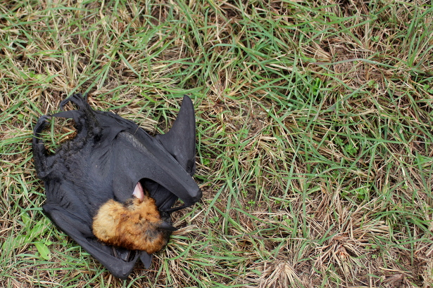 We Discovered A Dead Flying Fox On The Side Of The Road Today. She Was  Below Power Lines So Was Probably Electrocuted. These Cute Furry Creatures  Are, ...