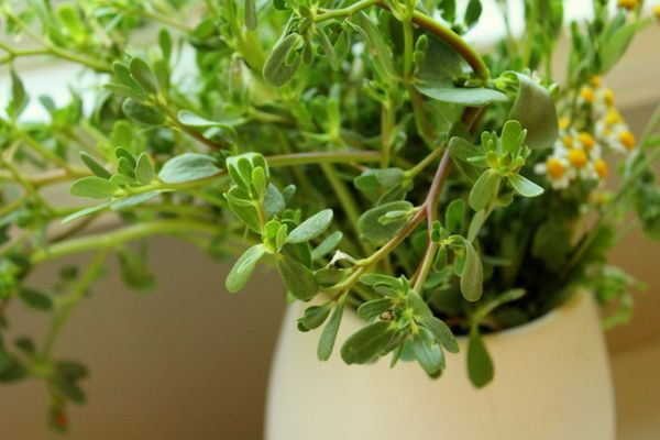 how to grow purslane in australia