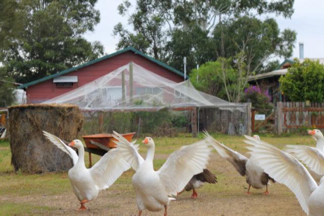 Purple pear geese