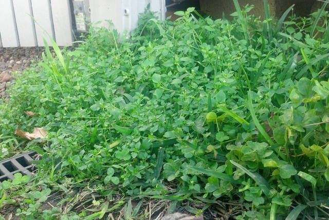 Chickweed habit