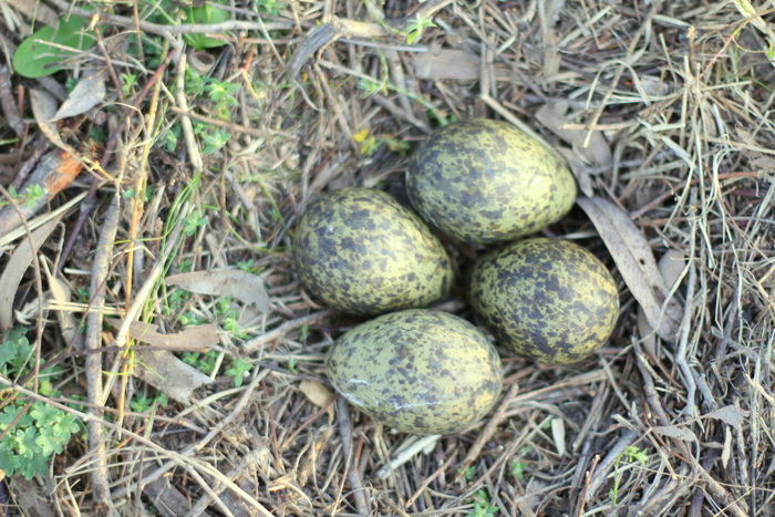Masked Lapwing nest and eggs