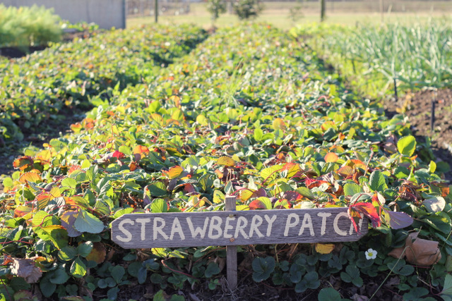 Margan Hunter Valley Strawberry patch