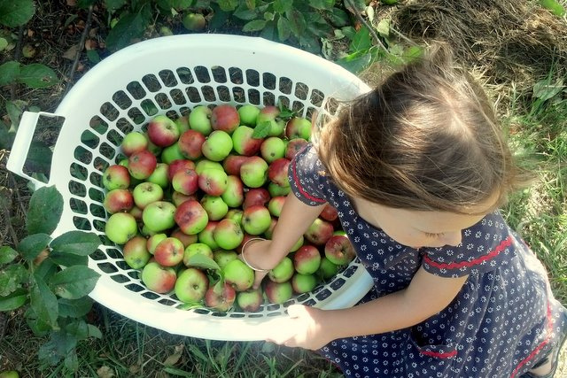 Foraged roadside apples