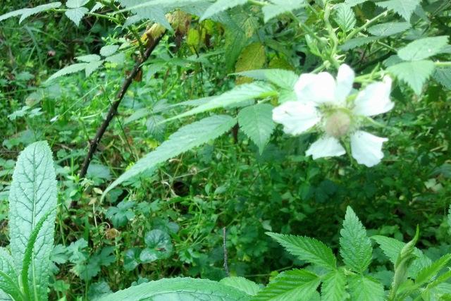 Native rasberry flower