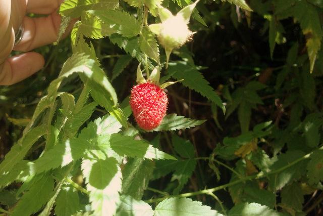 Foraging native raspbery clean