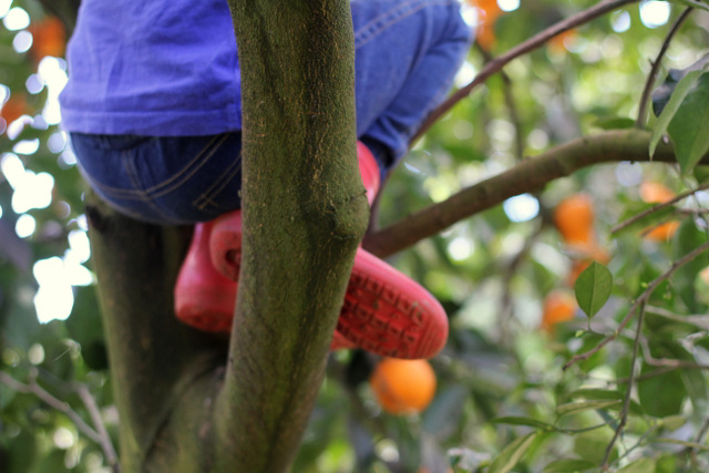 Pick your own oranges Hillsdale Orchard Hunter Valley 4