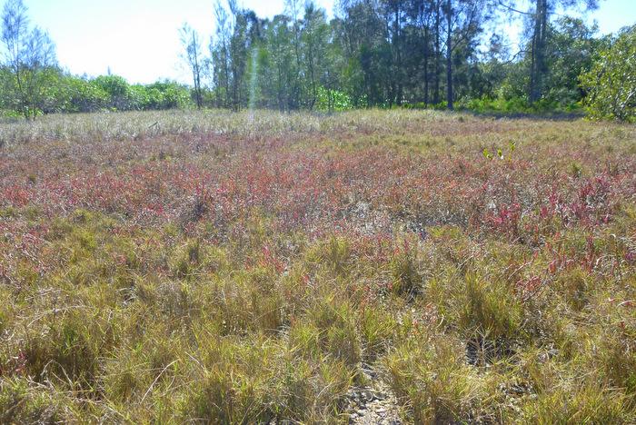 Foraging Salt Marsh Samphire Sarcocornia quinqueflora 4