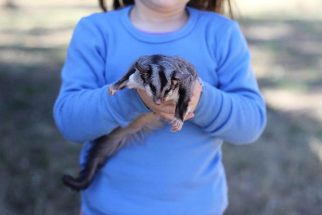 Squirrel glider 3