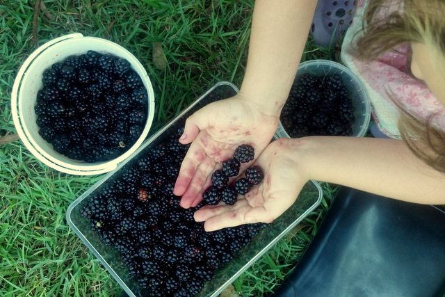 Foraging for blackberries