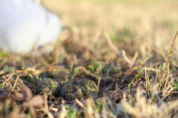 Beautifully camouflaged Masked Lapwing eggs