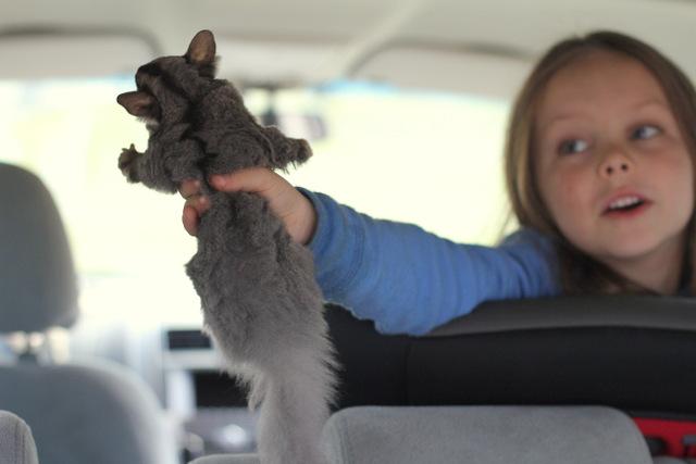 Squirrel glider 4