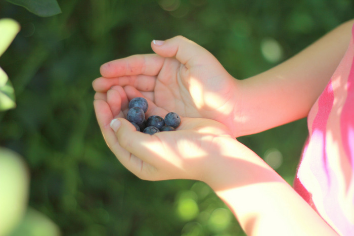 Picking Blueberries 2 Misty Valley Farm Brunkerville Tricia Hogbin