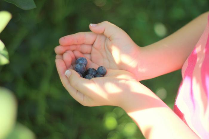 Picking Blueberries 2 Misty Valley Farm Brunkerville Tricia Hogbin