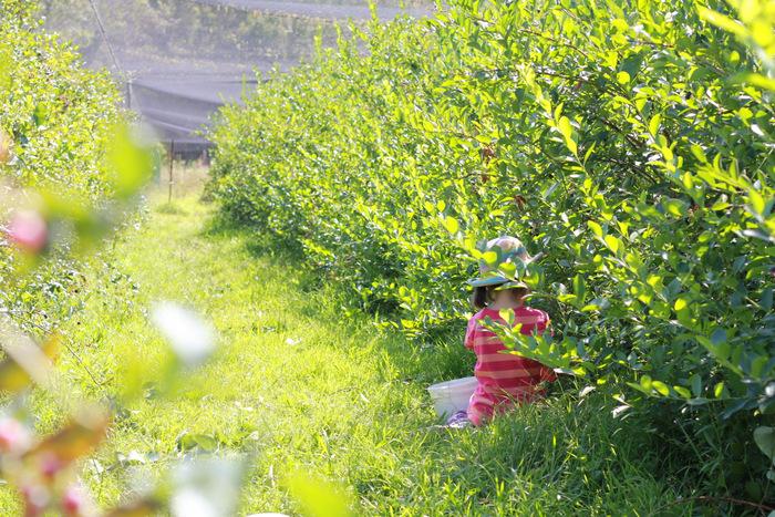 Picking Blueberries 5 Misty Valley Farm Brunkerville Tricia Hogbin