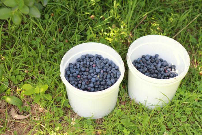 Picking Blueberries 7 Misty Valley Farm Brunkerville Tricia Hogbin