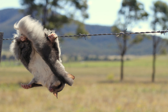 Squirrel glider stuck on a barbed wire fence 1