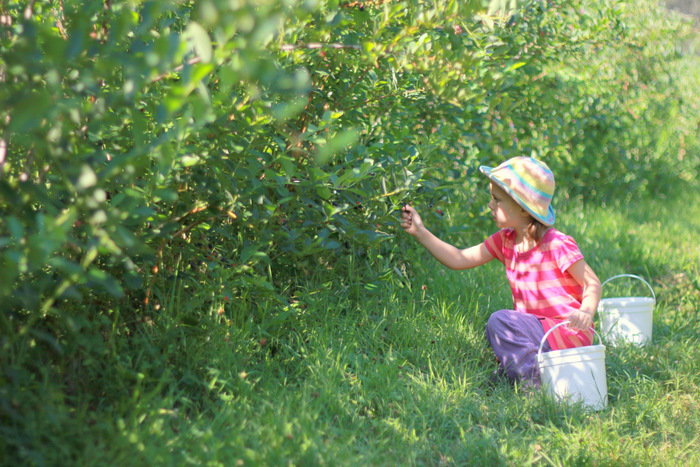 Picking Blueberries 1 Misty Valley Farm Brunkerville Tricia Hogbin