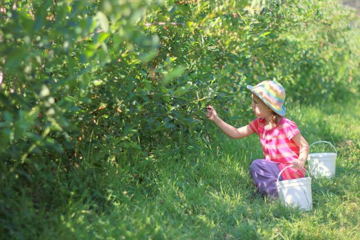 Picking Blueberries 1 Misty Valley Farm Brunkerville Tricia Hogbin