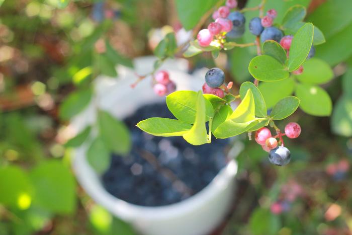 Picking Blueberries 4 Misty Valley Farm Brunkerville Tricia Hogbin