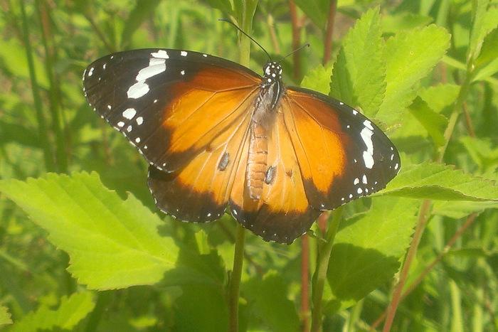 Wanderer Butterfly 2