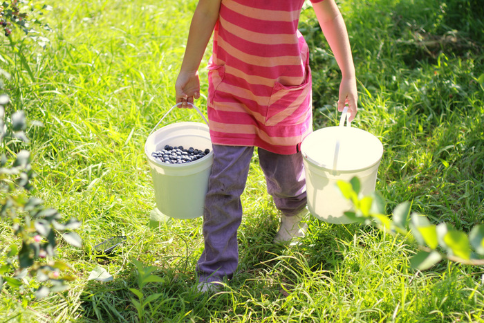 Picking Blueberries 6 Misty Valley Farm Brunkerville Tricia Hogbin