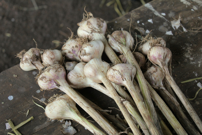 Australian Garlic is now in season 1 Tricia Hogbin