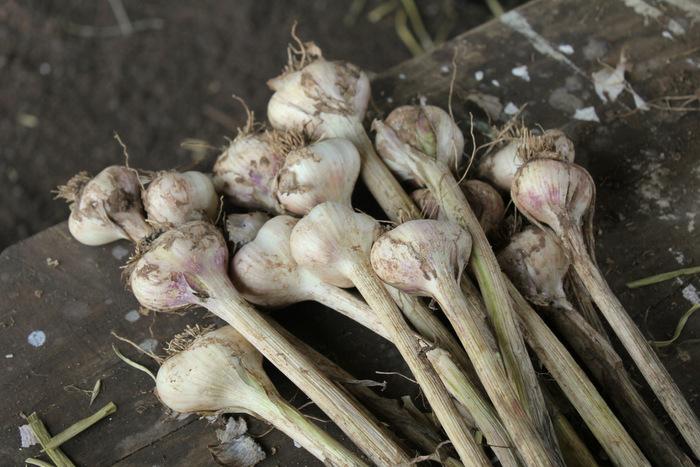 Australian Garlic is now in season 1 Tricia Hogbin