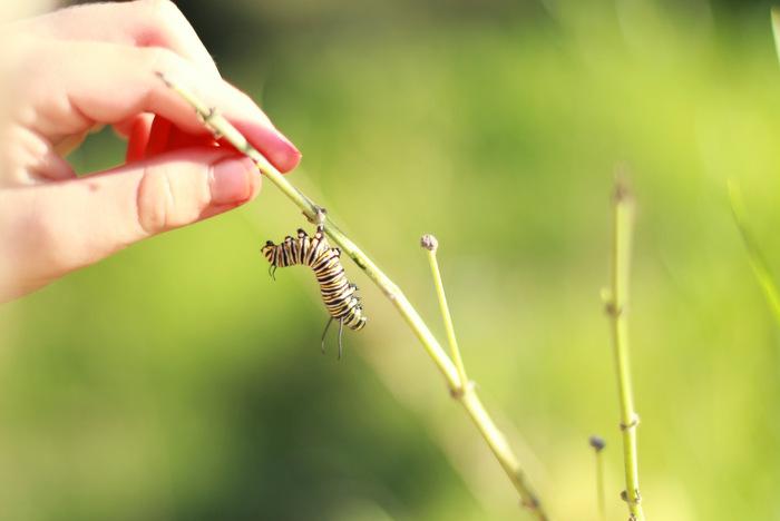 Lesser Wanderer Caterpillar