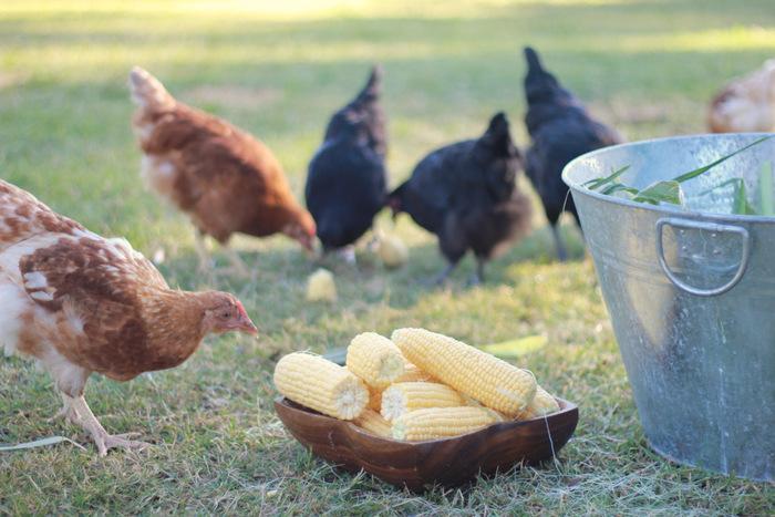 Chickens gate-crashing my corn husking