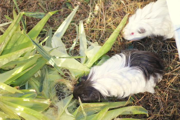 Guinea pigs love sweet corn husks