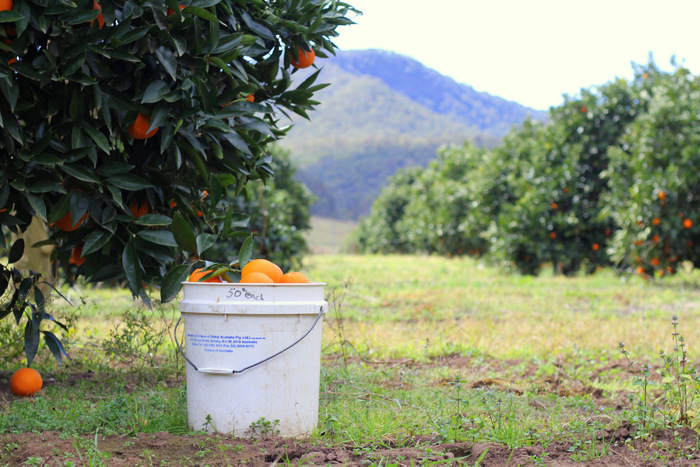 You can pick your own oranges from Hillsdale Citrus Orchard Bulga