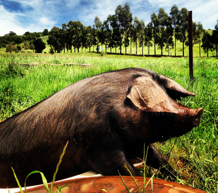 A pig enjoying a bath at Jonai Farm – a farm that produces 'ethically raised pork'. Photo Tammi Jonas