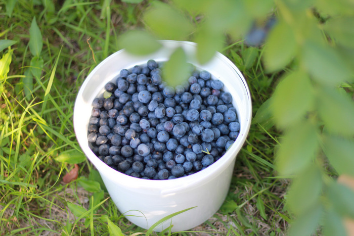 Delicious local fresh bluberries. Tricia Hogbin