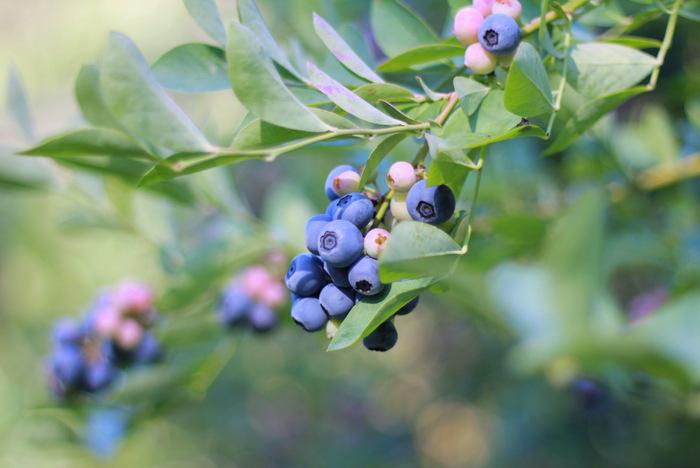 Blueberries-hunter-valley-misty-valley-farm. Little eco footprints
