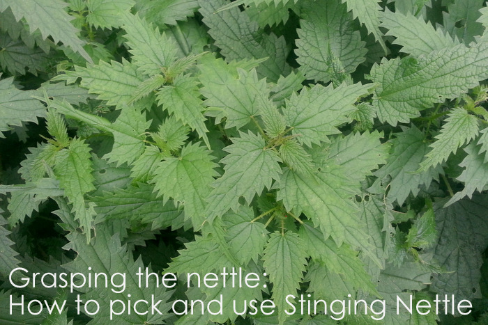 How-to-pick-and-use-stinging-nettle-little-eco-footprints