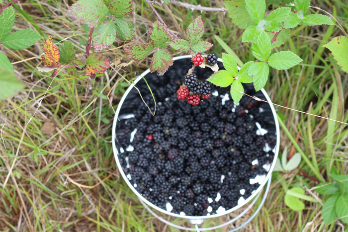 Picking-blackberries. Littleecofootprints