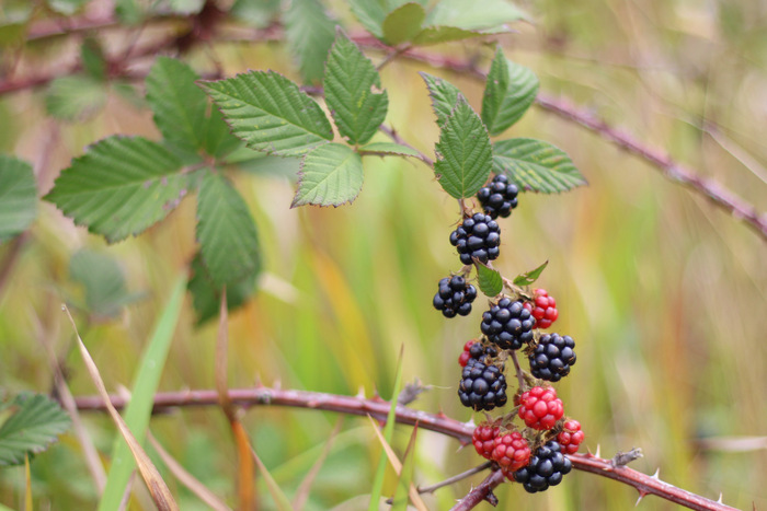 Blackberries are a nice introduction to foraging because they are easy to recognise and there are no poisonous look-alikes. Littleecofootprints