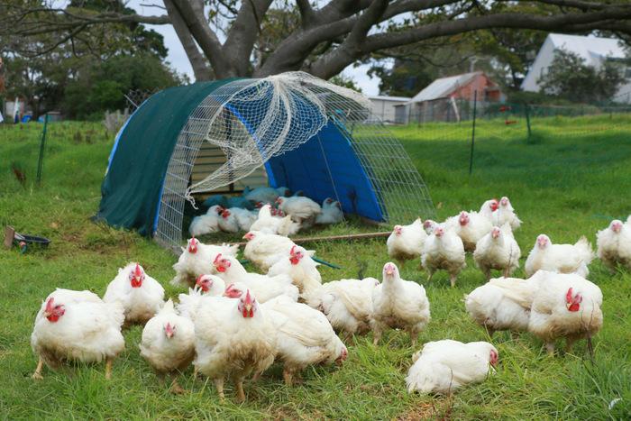 Pasture-raised-chickens- Buena-Vista-Farm. Little eco footprints