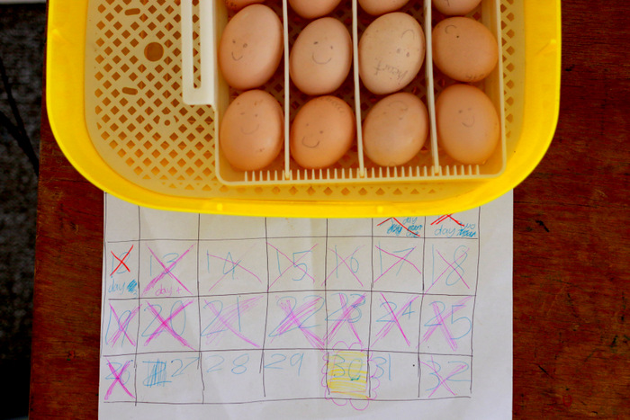 How-to-incubate-chicken-eggs. Little eco footprints