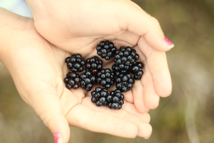 Blackberry-picking-tips. Littleecofootprints