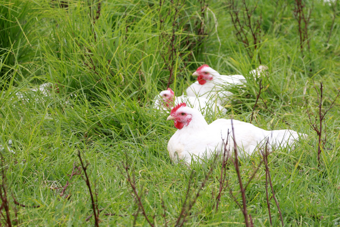 Pasture-raised-chickens-Buena Vista -Farm 2. Little eco footprints