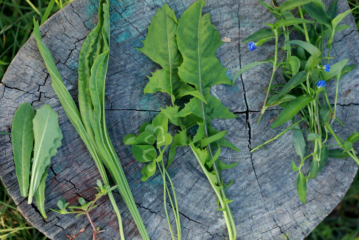 Foraged-greens-weedy-superfoods-little eco footprints