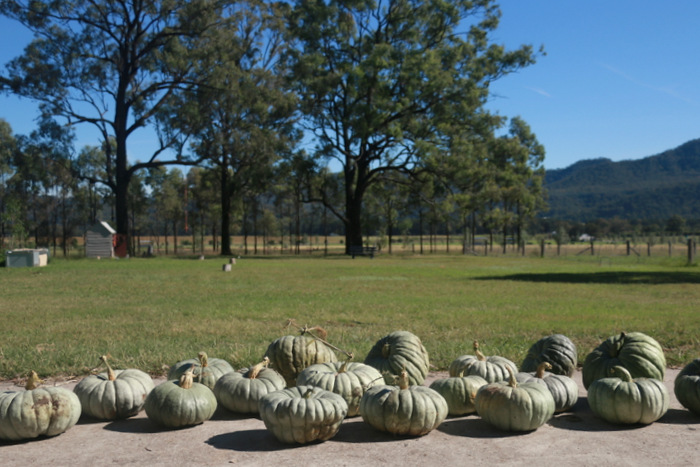 Curing-pumpkins-ready-for-storage. Little eco footprints