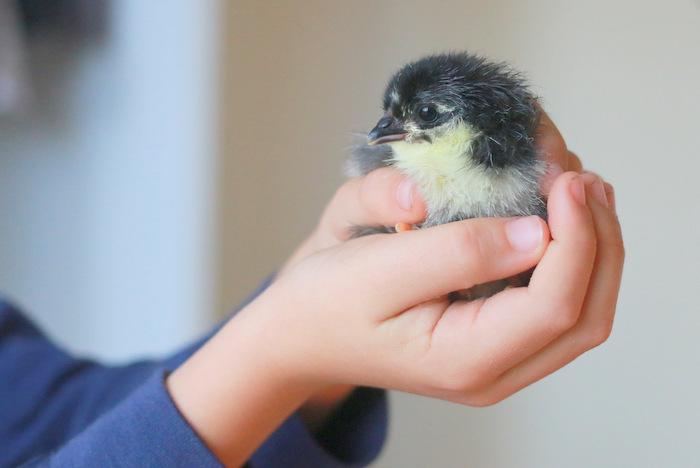 Australorp-chicken. Little eco footprints