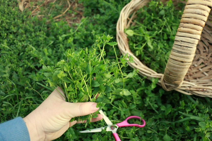 Foraging Chickweed. Little eco footprints