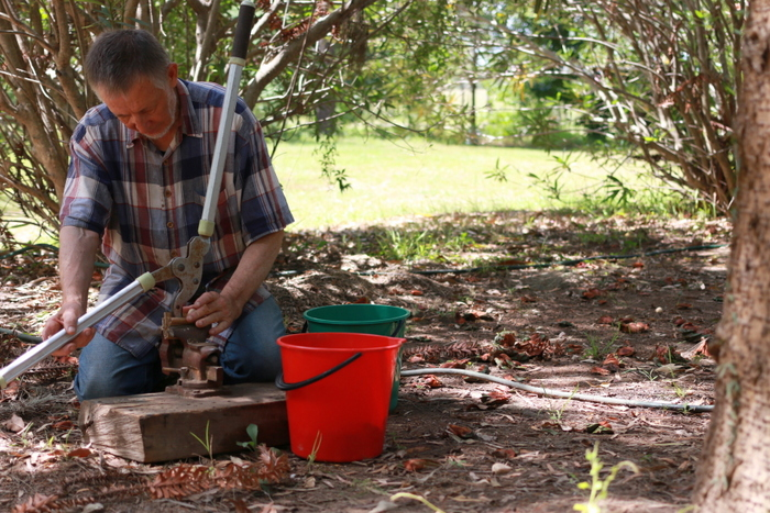 Jorge Tlaskal shelling bunya nuts from a tree he planted 25 years ago. Little eco footprints