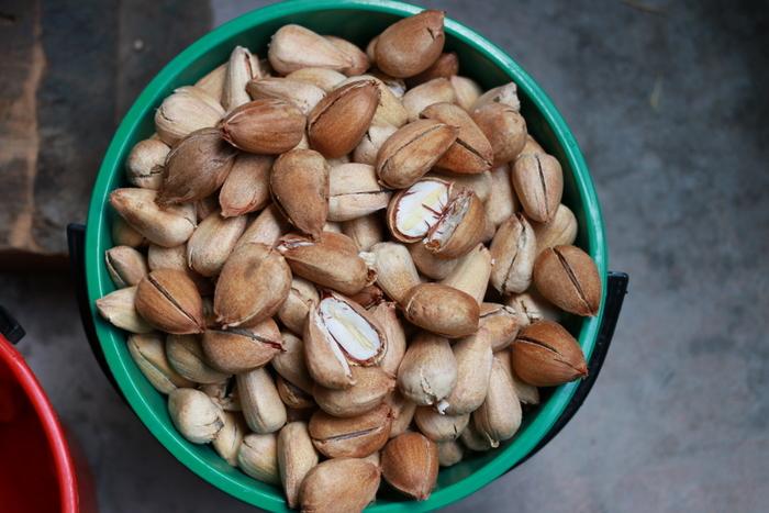 Bucket of bunya nuts. Little eco footprints