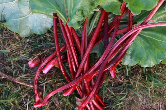 Winter Red Rhubarb stems. Little eco footprints