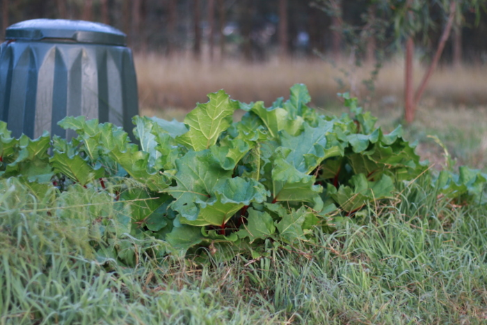 Rhubarb leaves cannot be eaten but are safe to compost. Little eco footprints