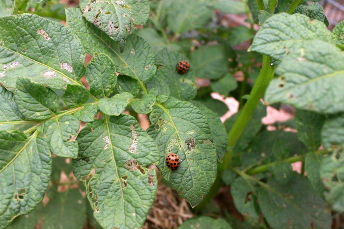 Ladybirds - distinguishing the good from the bad. Little eco footprints